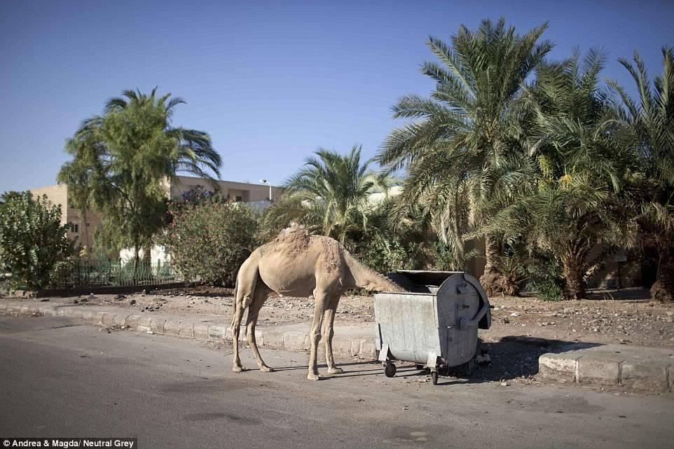 5. Бездомный верблюд роется в помойке.