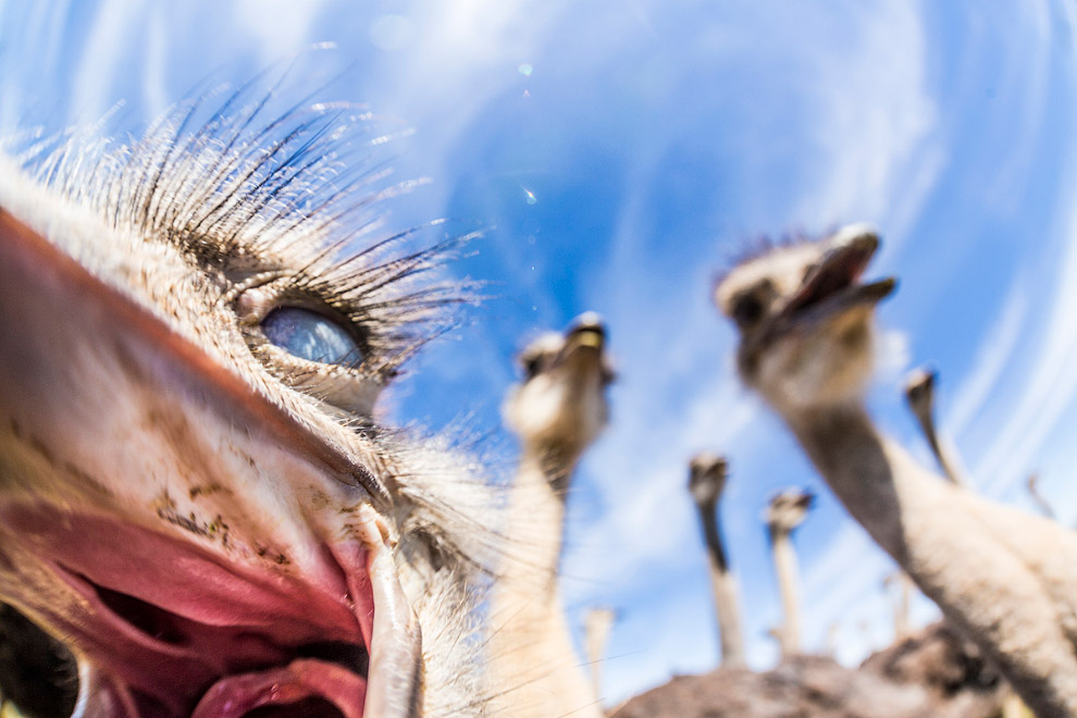 6. Взрослые страусы опасны даже для крупных хищников — одного удара их сильной ноги, вооружённо