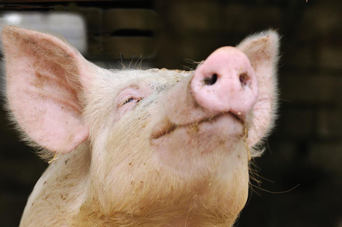 Органы свиней будут пересаживать младенцам