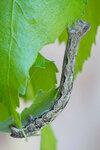 Гусеница пяденицы дымчатой ивовой Alcis repandata (Geometridae: Ennominae: Boarmiini)