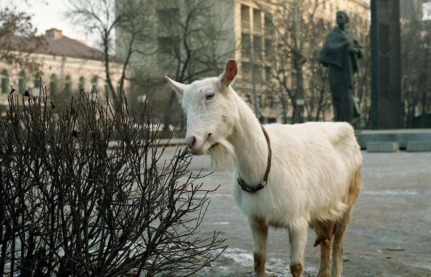 Коза, собака и сникерс