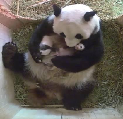 Ми-ми-ми! Мама-панда забавляет детенышей-близнецов (видео)