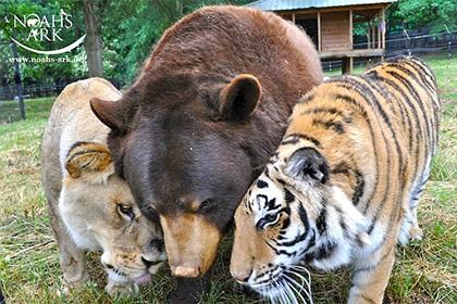 Дружившие барибал и тигр остались без приятеля