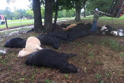 В Техасе молния погубила 19 голов КРС