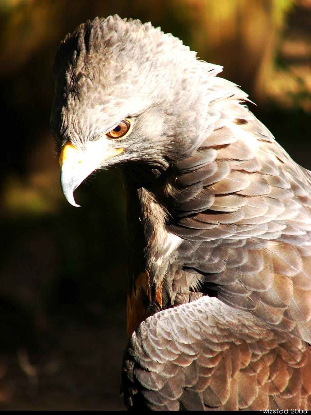 птицы Randall Nicholls