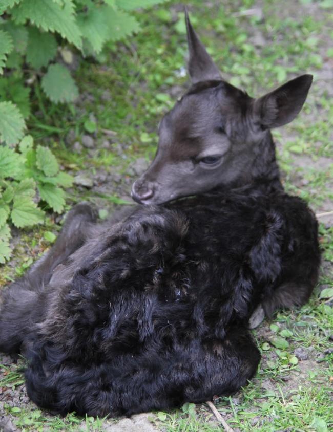 © Tumblr  Примеры ярко выраженного меланизма есть нетолько вдикой природе, иэтот померански