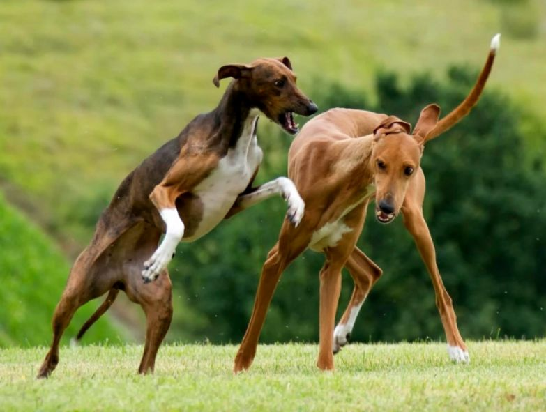 Некоторые из представленных здесь собак и щенков имеют сходные черты со знакомыми нам породами,