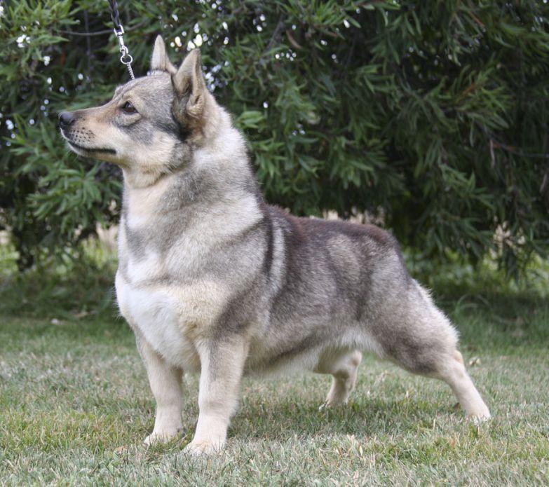 Внимательный, жизнерадостный пес просто излучает энергию и позитивные эмоции. Стоит несколько ми