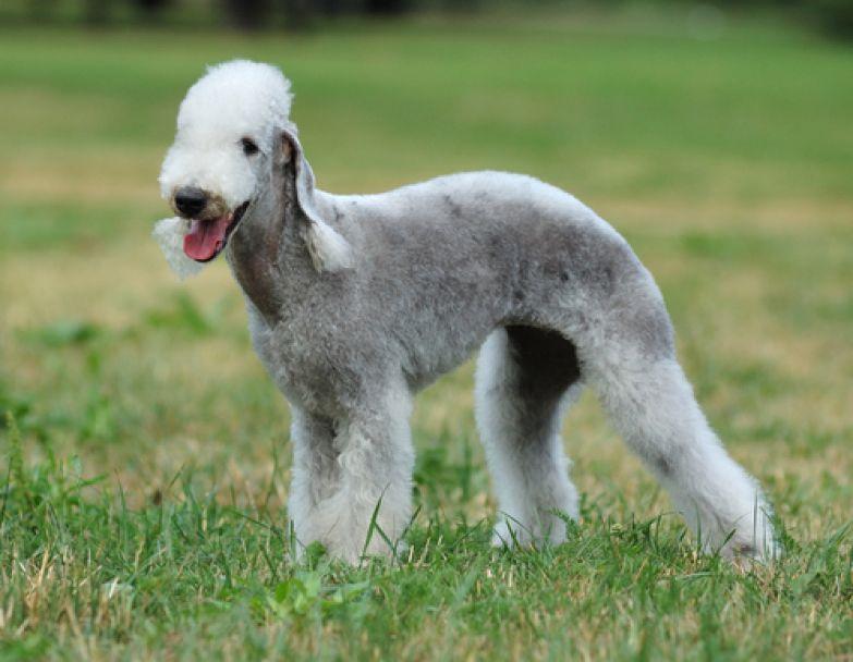 Бедлингтон—терьер с виду похож на овечку, а многие ошибочно принимают его за пуделя или английск