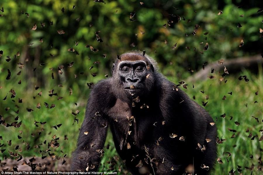 9. Облет. Фотография Анупа Шаха показывает, как горилла идет через облако бабочек в Центральноафрика