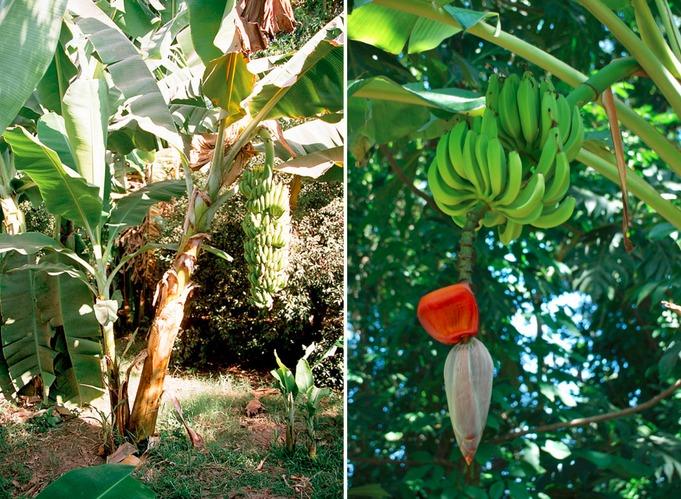 13. Бананы являются травянистым растением, а их цветки опыляют птицы и летучие мыши.