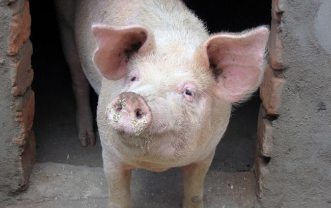 Африканская чума свиней свирепствует в 3-х районах Харьковской области