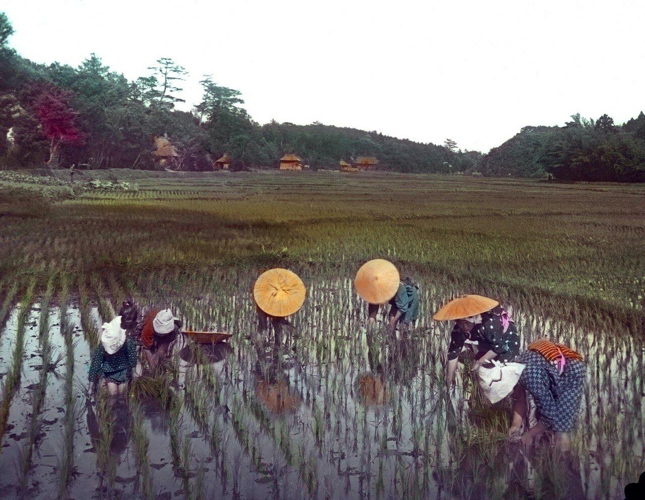 Женщины на рисовом поле. 1910