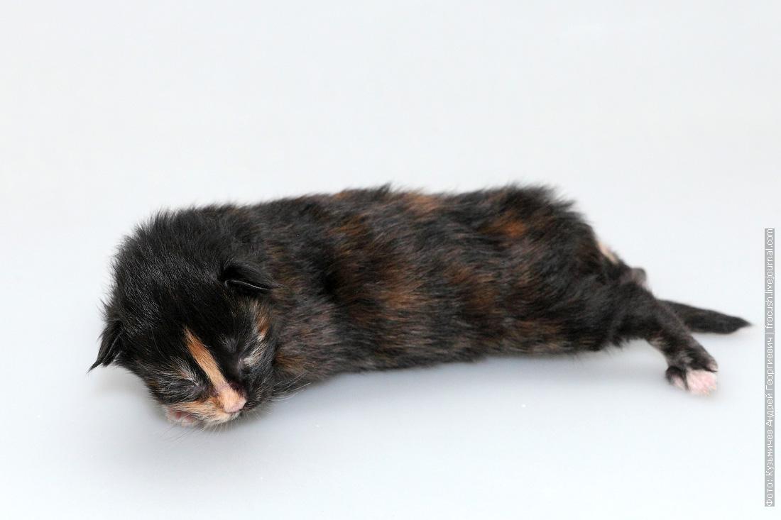 котенок мейнкун 1 неделя фотография