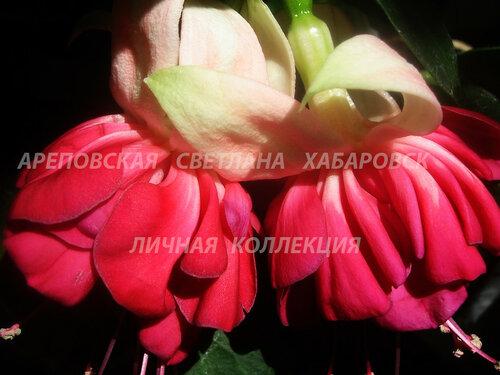 НОВИНКИ ФУКСИЙ. - Страница 5 0_153d9f_497803e5_L