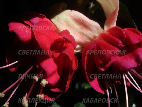 НОВИНКИ ФУКСИЙ. - Страница 5 0_153da0_f37a396c_L
