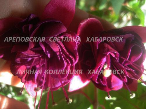 НОВИНКИ ФУКСИЙ. - Страница 5 0_1565c9_ae335223_L
