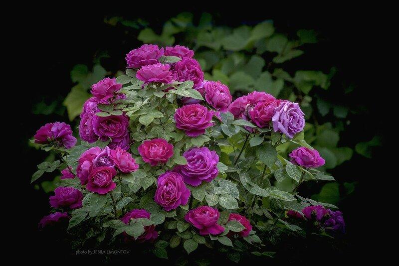 Фотографии цветущих роз от Евгения Лимонова