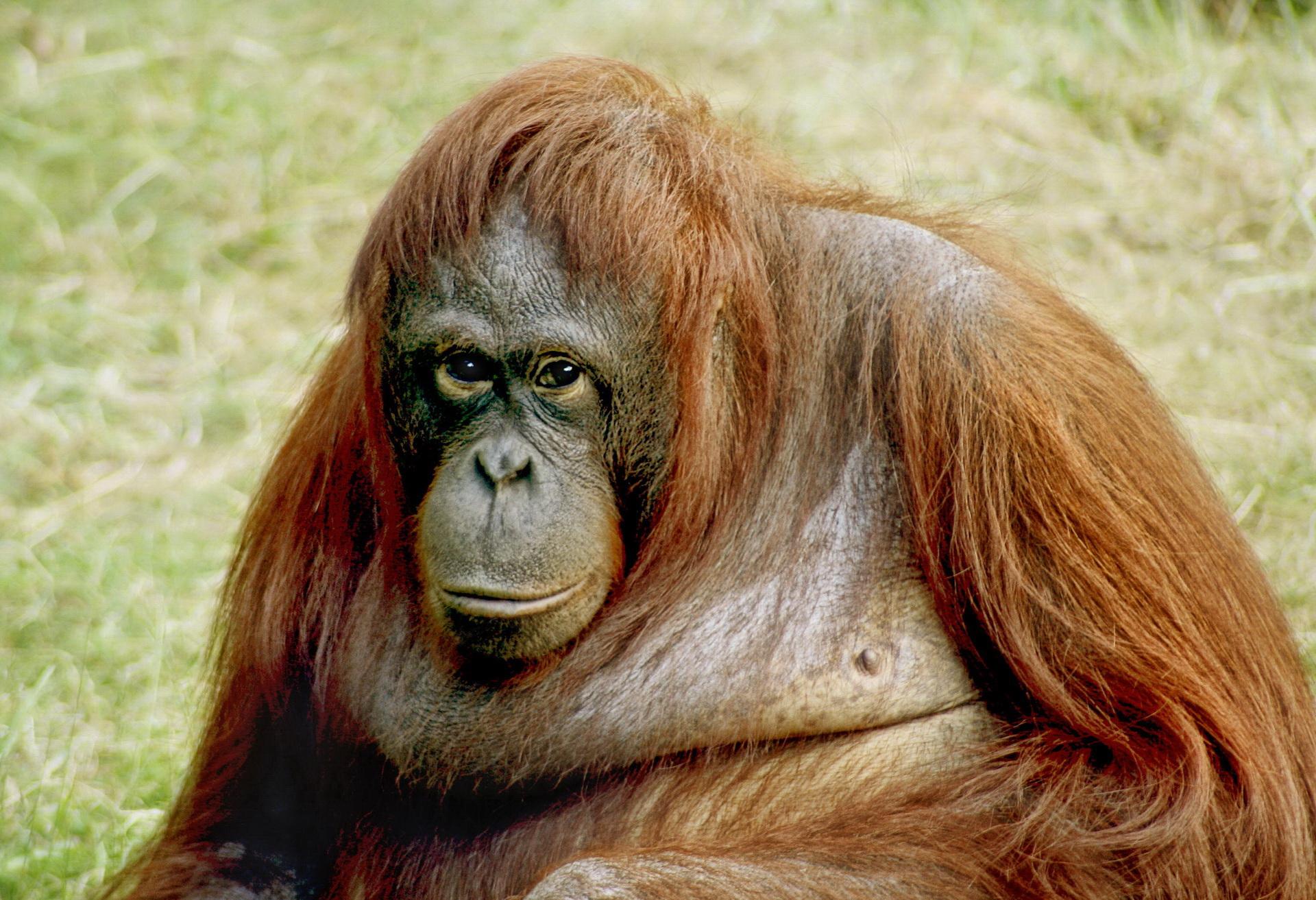 Портрет орангутанга