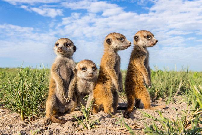 Сурикаты Ботсваны в фотографиях Беррарда Лукаса