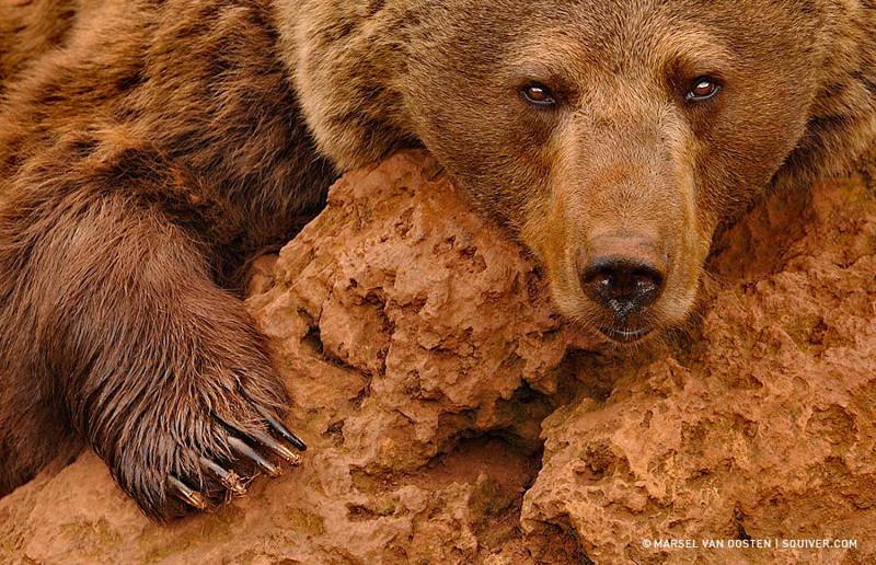 8. Бурый медведь.