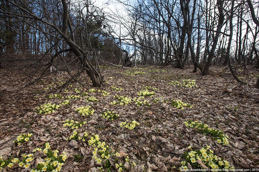 8. Второе название примулы — первоцвет. Она расцветает весной одна из первых. Часто задолго до