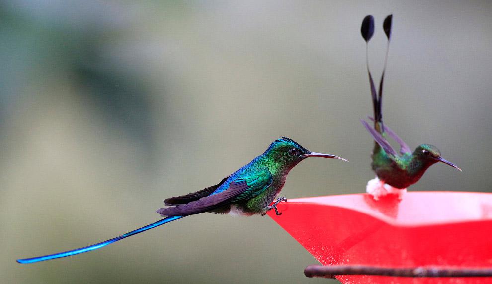 11. Если сопоставить длину тела колибри с его скоростью, их отношение «больше, чем у истребител