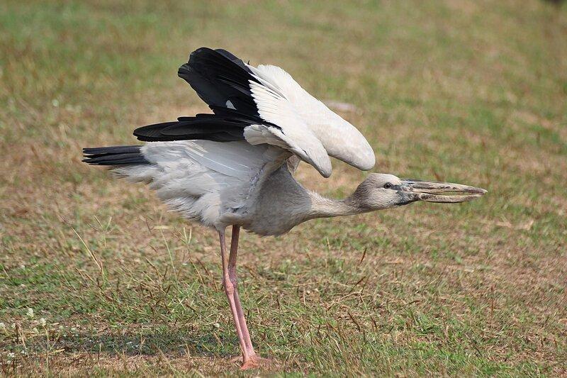 Азиатский аист-разиня (гонгал, индийский аист-разиня, серебристый аист-разиня, Anastomus oscitans) белого цвета с черными концами крыльев и незакрывающимся клювом на лужайке в Аюттайе (Таиланд)