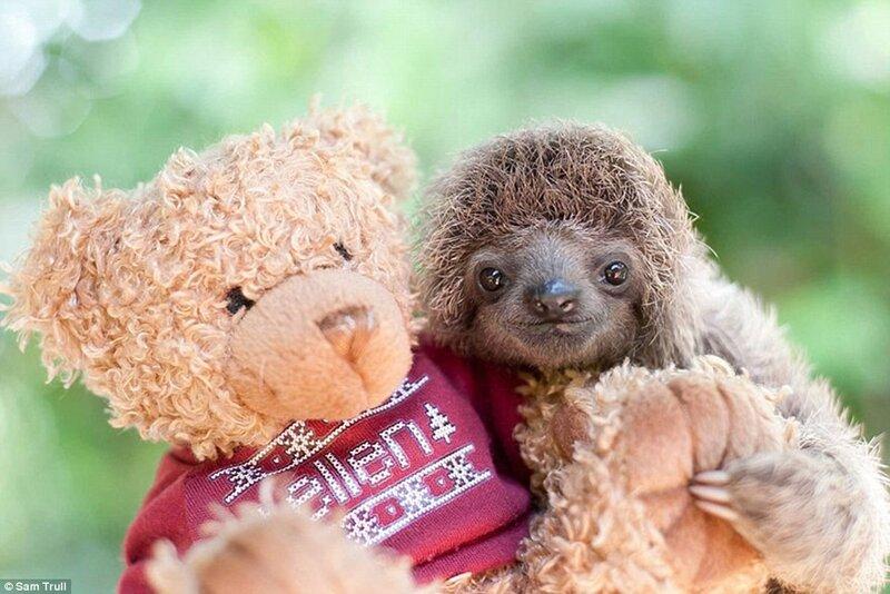 Осиротевший детёныш ленивца, который проходит реабилитацию в Институте, и его лучший друг – плюшевый мишка.
