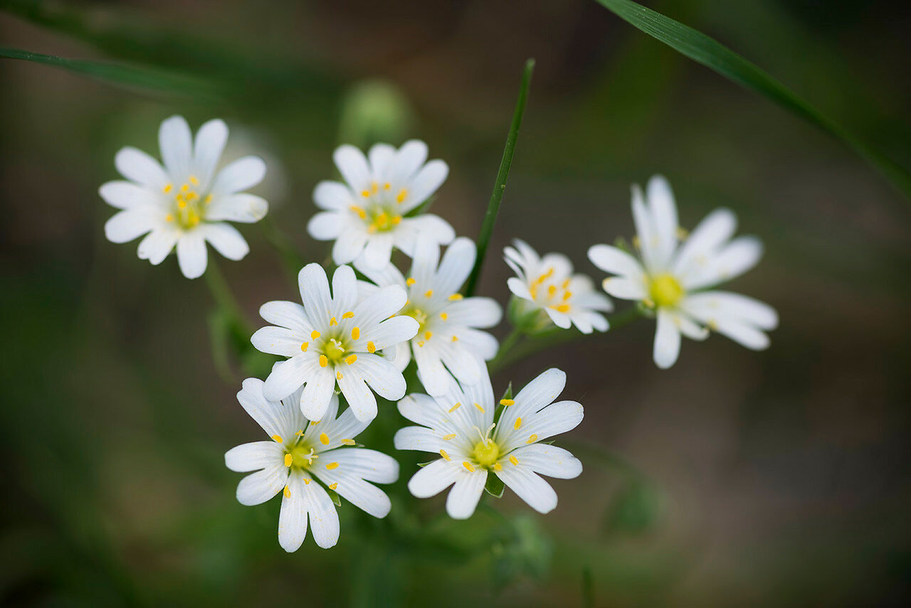 Звездчатка жестколистная (Stellaria holostea) Автор фото: Владимир Брюхов