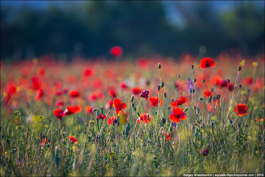 Crimean poppies / Крымские маки