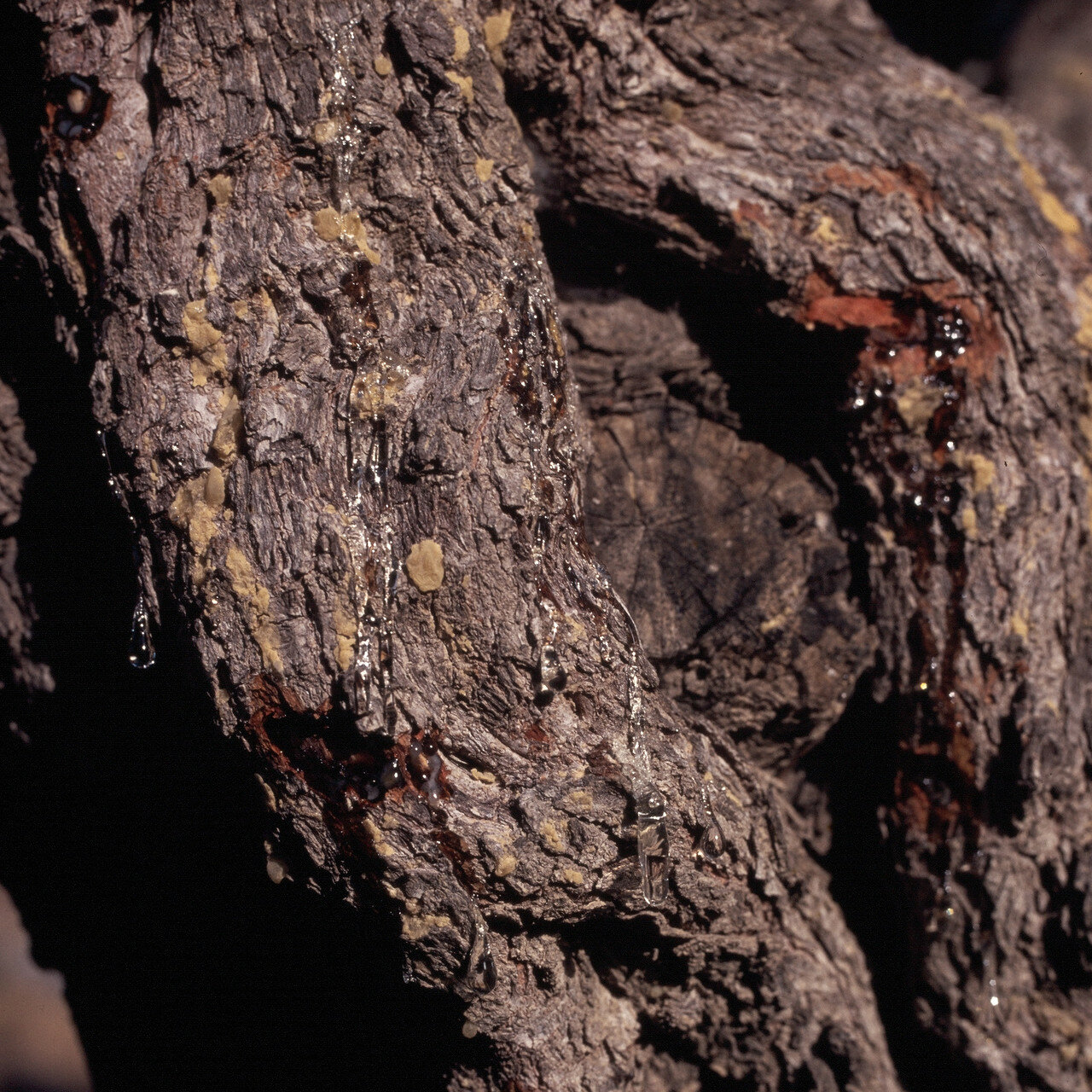 Южный Хиос. Плантация мастичных деревьев