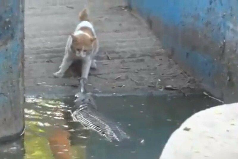 Кошка против крокодила! Потрясающие видео