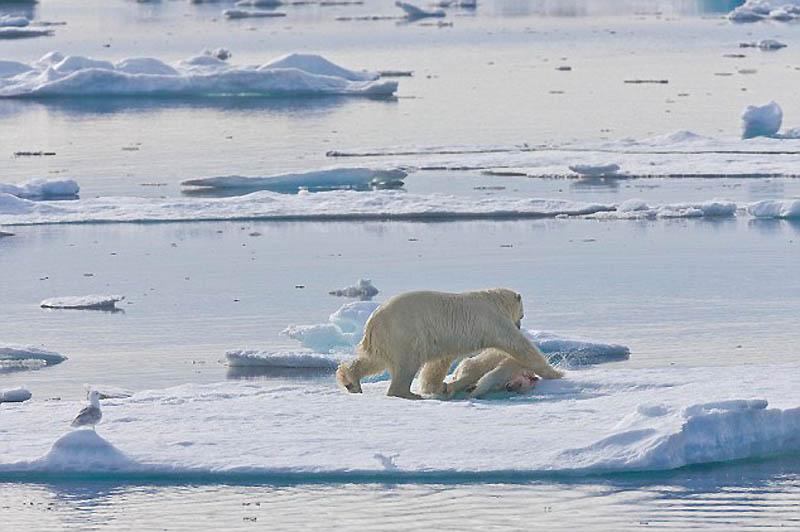 7. При приближении лодки, медведь утащил свою жертву дальше от края льдины.