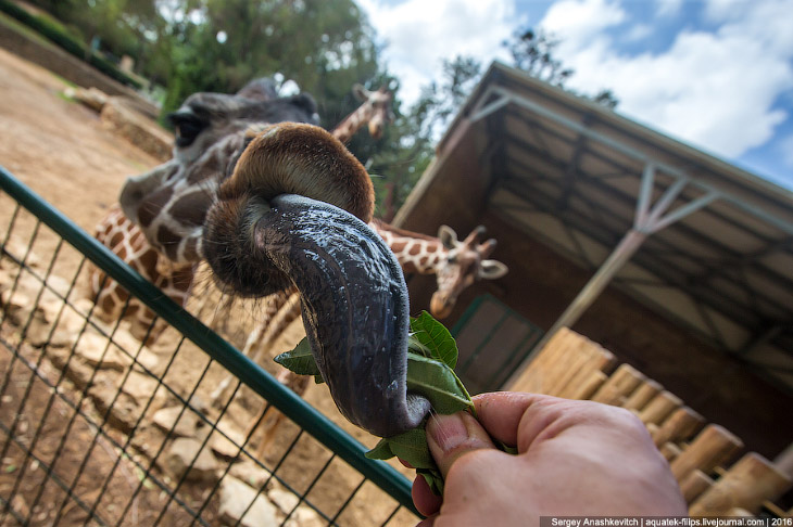 Язык у них черного цвета и длиной почти 50 см, он настолько подвижен, что жираф может кончиком языка