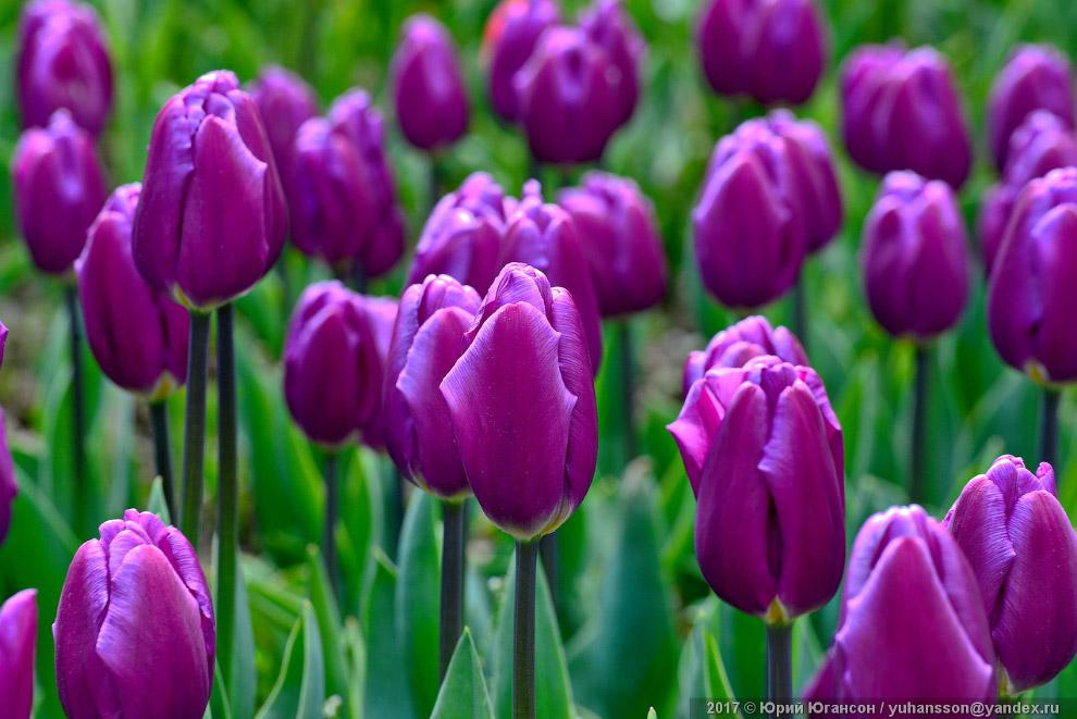 12. В середине XVI века тюльпаны появились в Западной Европе, и в течение полутора веков были самой