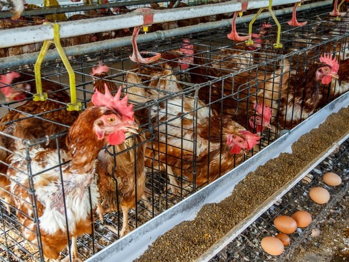 12. Курицы с мышьяком Несмотря на то, что мышьяк является сильнейшим ядом, на современных фермах он