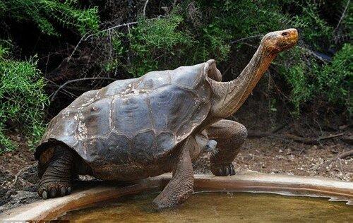 100-летний самец черепахи Диего продолжает воспроизводить потомство