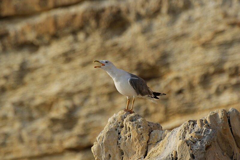 Средиземноморская чайка (Larus michahellis) поёт песню на камне около мыса Фиолент в Крыму