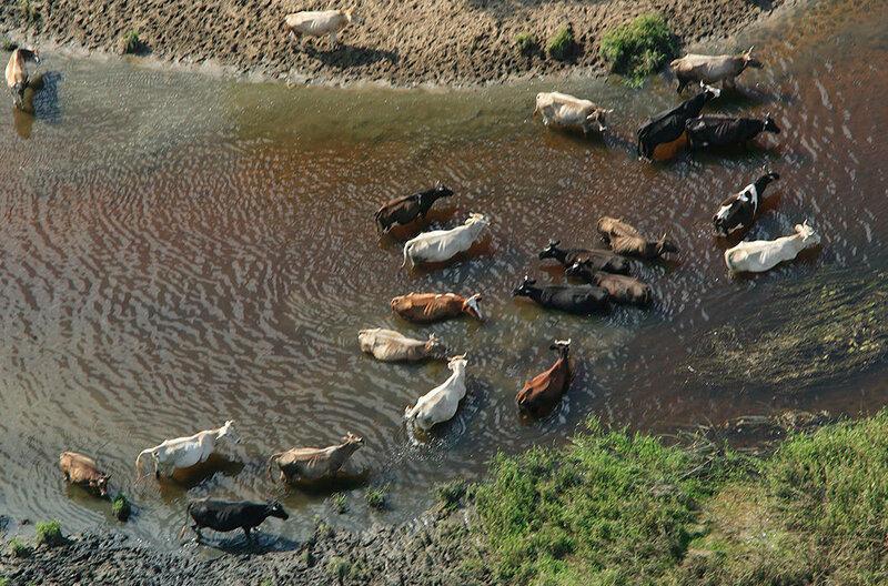 Стадо коров в реке Теза. Волгореченск, Ивановская область