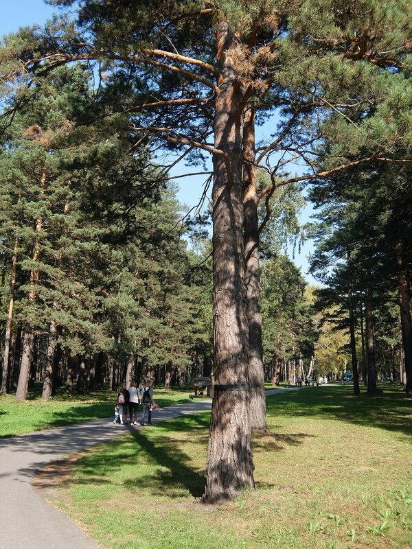 Зенковский парк - Тропинка среди сосен