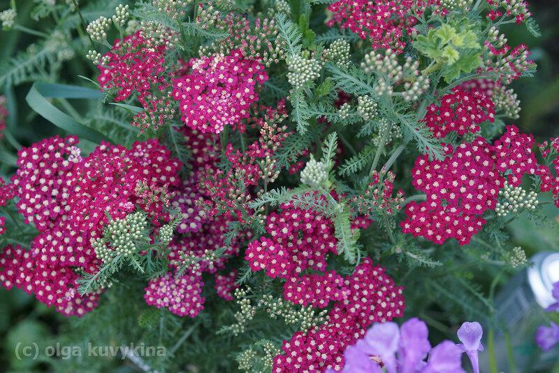 Тысячелистник садовый красный