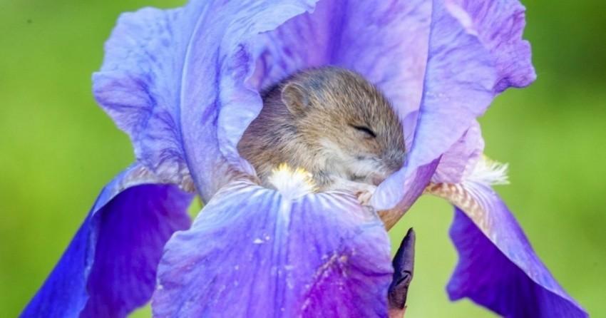 мышонок в цветке ириса