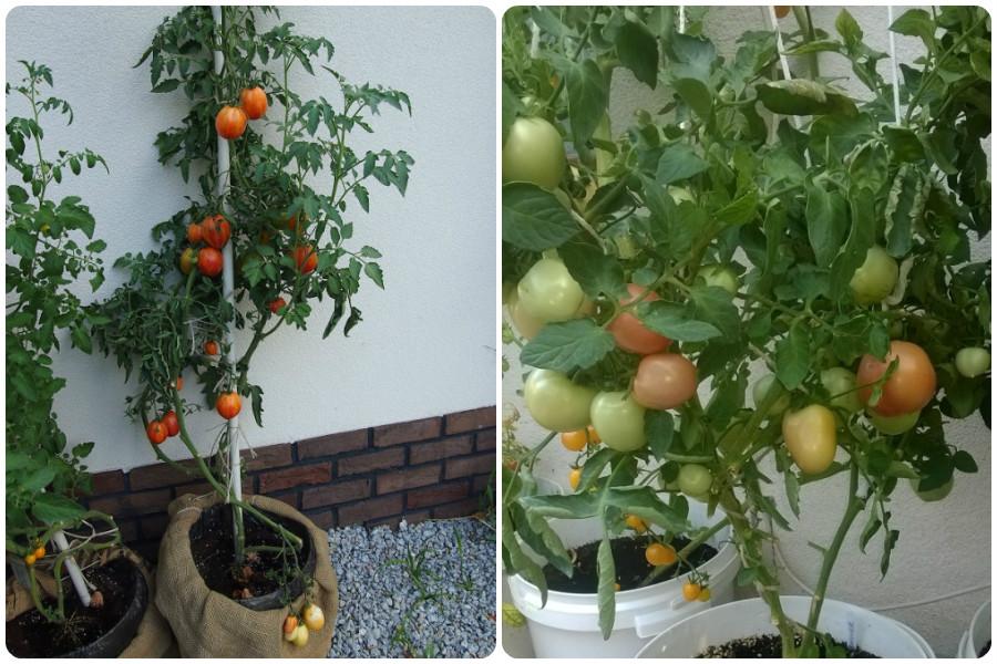 Выращивание томатов в пластиковых бутылках 3