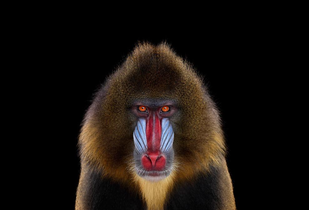 7. Рысь. (Фото Brad Wilson):