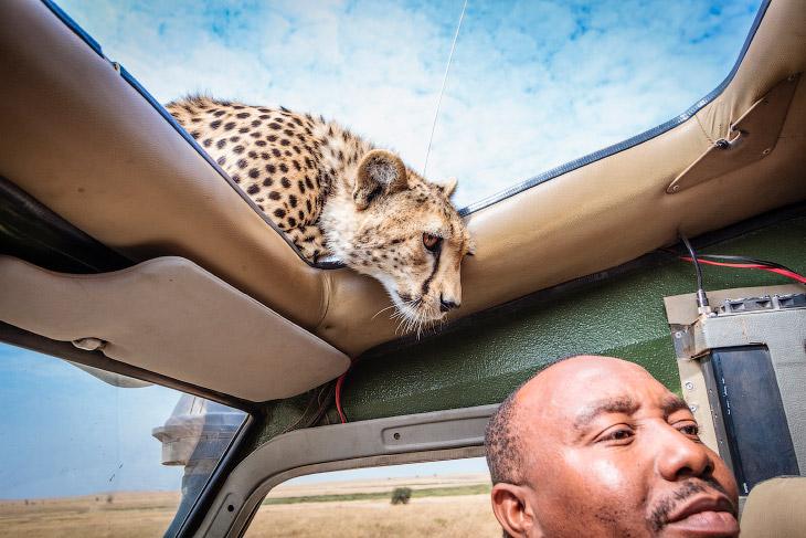 Лицом к лицу с гепардом (10 фото)