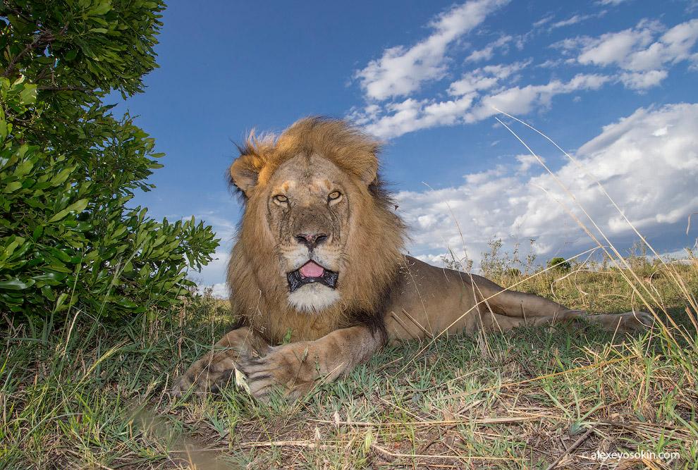 8. Согласно множеству видео в ютюбе, в зоопарках чаще побеждают тигры. А вот дрессировщики в ци