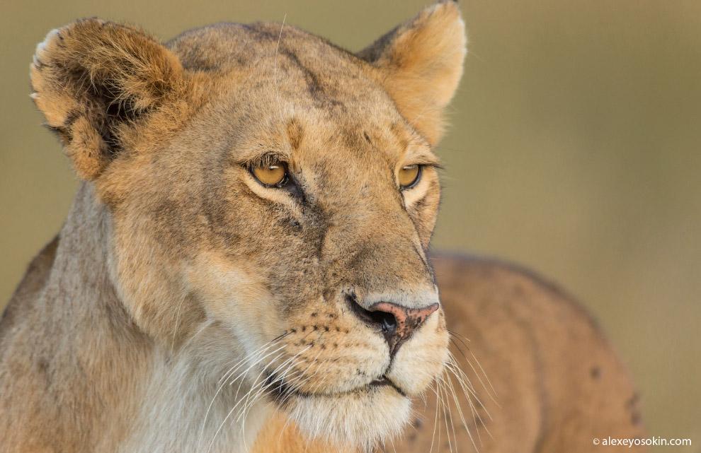13. Взгляд леопардов, пожалуй, самый мощный... Я много лет снимаю этих животных, но никак не пр