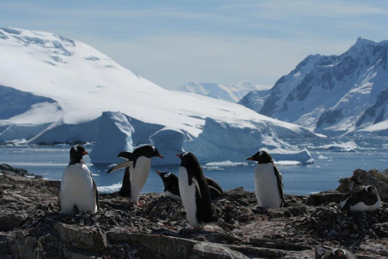 Gentoo and Chinstrap penguins, on the other hand, are ice-tolerant as opposed to ice dependent, whic