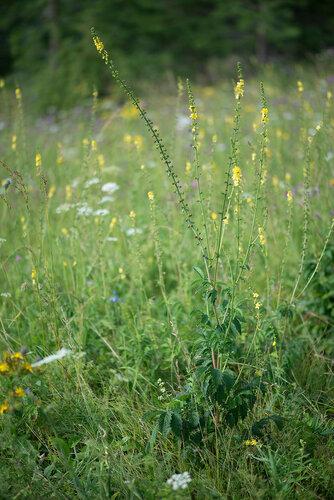 Репешок аптечный (Agrimonia eupatoria)  Автор фото: Владимир Брюхов